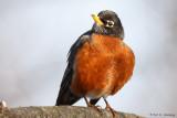 Late-winter Robin
