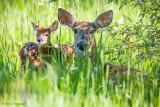 Deer in the grass