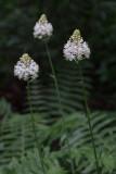 Amianthium muscaetoxicum- Fly Poison