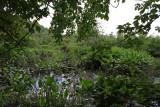 Pontederia cordata- Pickerel Weed