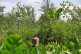 Peltandra virginica- Arrow Arum