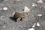 Flat-clawed Hermit Crab