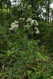 Aster umbellatus- White Flat-topped Aster