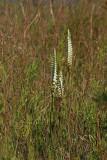 Spiranthes odorata- Marsh Lady's Tresses