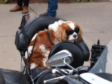 Another Biker Dog...Sunglasses On Dogs Seemed Popular This Year