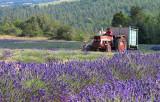 Récolte de la lavande_7326r.jpg