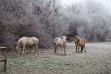 Boissise La prairie Malécot ... ses chevaux
