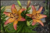 Peach Lilium