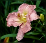 Peach Daylily after the rain