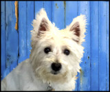 This is Snow, a little friend.  I took this with my phone, a Samsung Galaxy S4.  She is a West Highland White Terrier