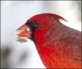 Male Cardinal March 2015