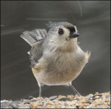 Tufted Titmouse in the blowing snow