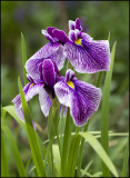 Siberian Iris' from our gardens