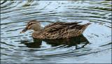 Florida Mallard, also know as Mottled Duck