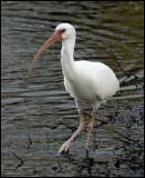 Ibis white female