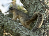 Eastern Fox Squirrel side view