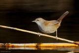 cetti´s warbler .....  cetti´s zanger