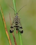 Panorpidae ( Skorpionsländor )