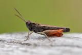 Grasshoppers ( Gräshoppor )
