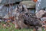 Eurasian Eagle Owl ( Berguv )