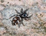 Salticus scenicus ( Sebraspindel )