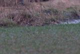 Caspian plover ( Kaspisk pipare )