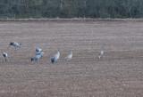 Sandhill crane ( Prärietrana )