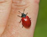 Röda Skalbaggar