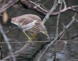 Squacco heron ( Rallhäger )