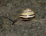 Gastropoda ( Snäckor )
