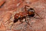 Formicidae ( Myror )