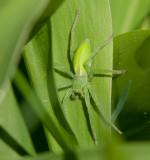 Sparassidae ( Jättekrabbspindlar )