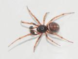 Theridiidae ( Klotspindlar )
