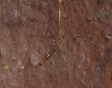 Choneiulus palmatus ( Borstpärlfoting )