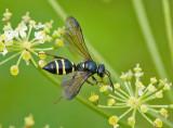 Hymenoptera ( Steklar )