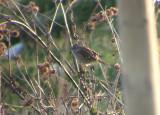 Spizelloides arborea ( Tundrasparv )
