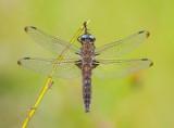 Dragonflyes (Trollsländor )