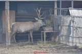 gradina-zoologica-baneasa-cerb-33.JPG