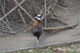 gradina-zoologica-baneasa-fazan-11.JPG
