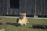 gradina-zoologica-baneasa-leoaica-45.JPG