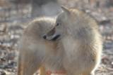 gradina-zoologica-baneasa-lup-43.JPG
