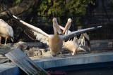 gradina-zoologica-baneasa-pelicani-50.JPG