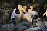 gradina-zoologica-baneasa-pelicani-51.JPG