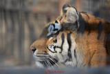 gradina-zoologica-baneasa-tigru-49.JPG