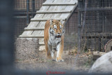 gradina-zoologica-baneasa-tigru-5.JPG