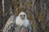 gradina-zoologica-baneasa-vultur-39.JPG
