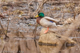 Mallard Duck - Looking for Springtime