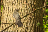 Gray Catbird - Dumetella carlinensis
