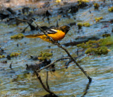 Northern Oriole (Baltimore Oriole)