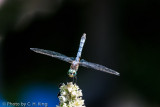 Dragon Fly - Blue Dasher